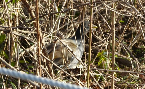 ドバト 北本自然観察公園の野鳥