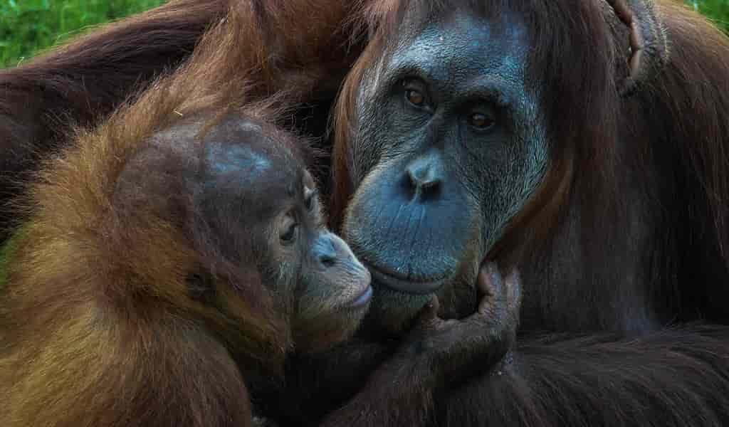 Relâcher des orangs-outans sauvés n'augmente pas leur nombre