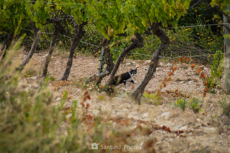 Gato debajo de unas viñas en Cal Rossell de les Bassegues