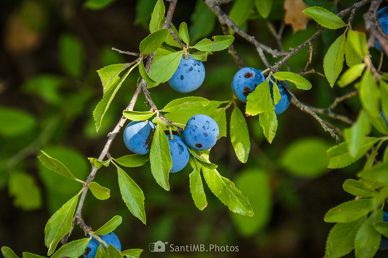 Frutos de endrino cerca de los Pèlags de Foix