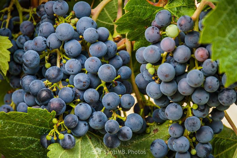 Uva en viñedo cerca del Trull