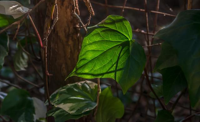 Green ivy leaf back-lit by winter sun.