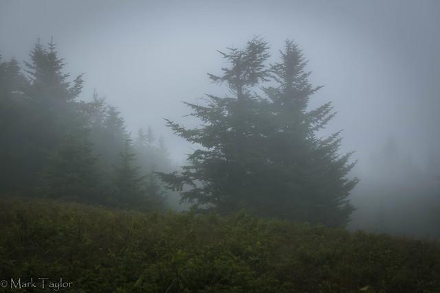 Foggy mountain spruce