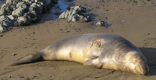 Ouch!!! Young Elephant Seal Resting