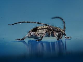 Teenas Stellate bristle hairy longicorn Beetle Callapoecus sp Lamiinae Cerambycidae Teenas Rainforest Airlie Beach P1200506