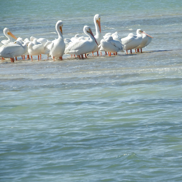 Winter Preening Time For White Pelicans