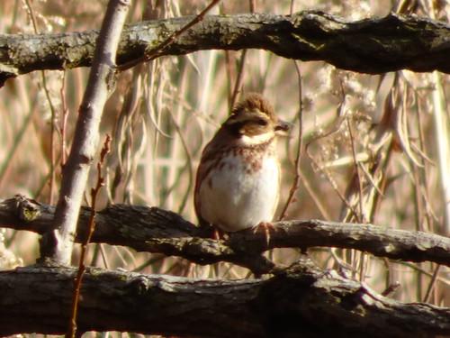 カシラダカ 北本自然観察公園の野鳥