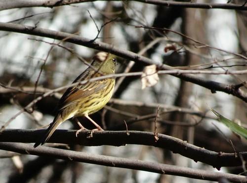 アオジ 北本自然観察公園の野鳥