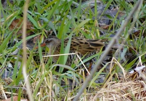 クイナ 北本自然観察公園の野鳥