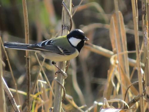 シジュウカラ 北本自然観察公園の野鳥
