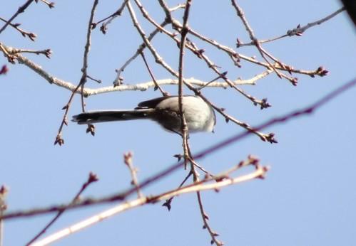エナガ 北本自然観察公園の野鳥