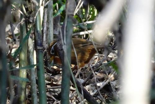 ガビチョウ 北本自然観察公園の野鳥