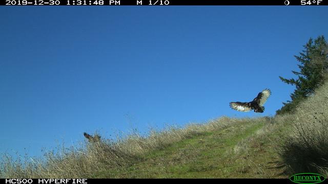 Turkey Vultures; 2019-12-30 San Mateo County, Santa Cruz Mountains, California, U.S.A.