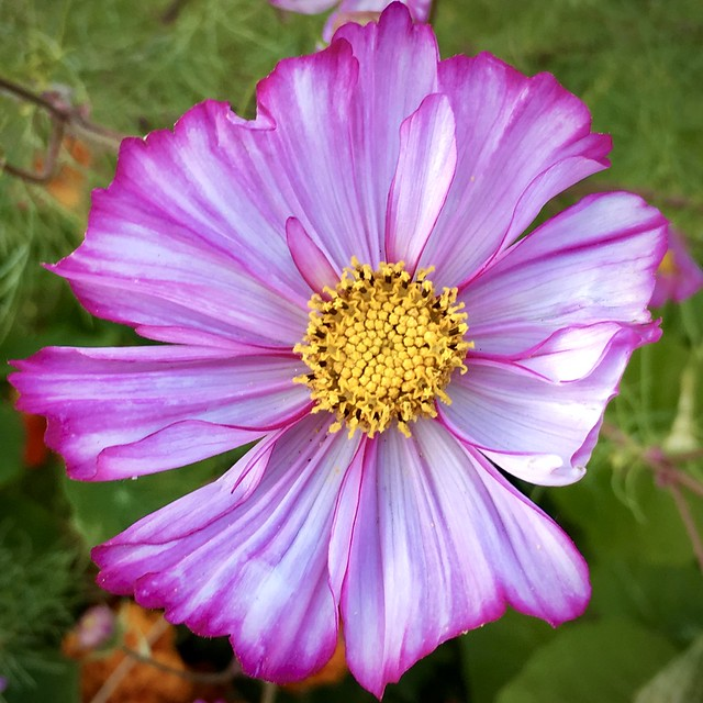 """Flower of Love"" ~ Cosmos"