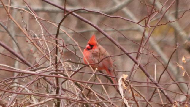 Out of Focus Cardinal