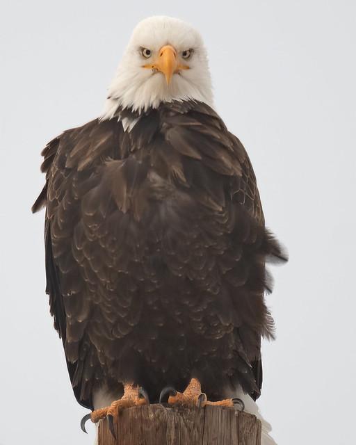 Bald Eagle-71