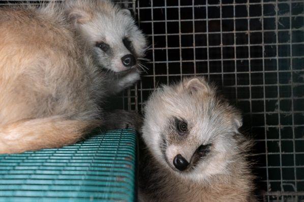 現代皮草養殖場中的貉:夫妻同命。圖片中是白化症的貉,有可能是皮草業為追求稀有的顏色而培育的「白子」。圖片來源:芬蘭動物權團體「動物正義(Oikeutta eläimille)」