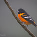 A Perched Male Baltimore Oriole Displaying Its Beautiful Feather Colors