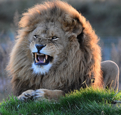 animals nature lion outside sunshine snarl lioncountry yorkshirewildlifepark doncaster yorkshire