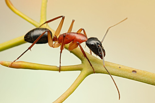 Black-headed Sugar Ant (Camponotus nigriceps)