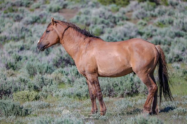 May Day Stallion - Mustang