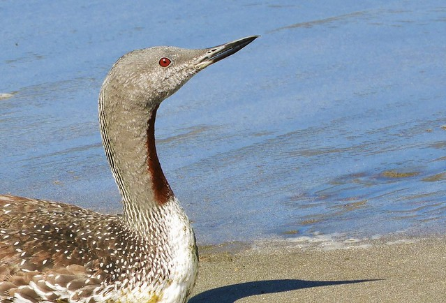 Red-Throated Loon in breeding plumage