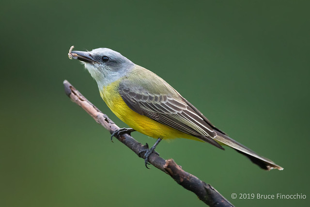 Tropical Kingbird With Captured Flying Insect Within Its Beak