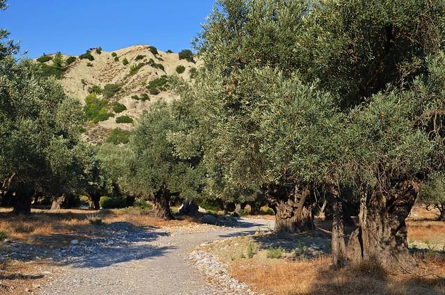 olive grove :)