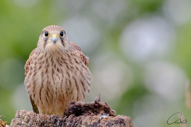 Kestrel with lunch in Lincolnshire