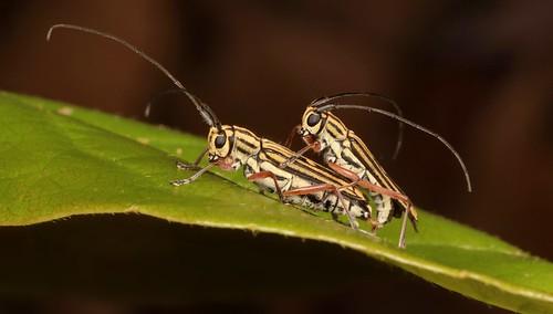 Longhorn Beetles (Glenea sp., Lamiinae, Cerambycidae)