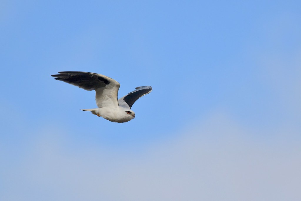 Black-shouldered Kite ( Dad is back without a mouse )