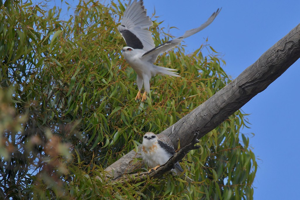 Black-shouldered Kites ( Dads not happy )