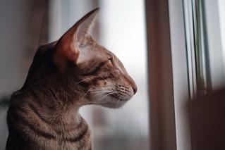 Oriental Cat. Fuji XT20 + Minolta Rokkor 55mm 1.7