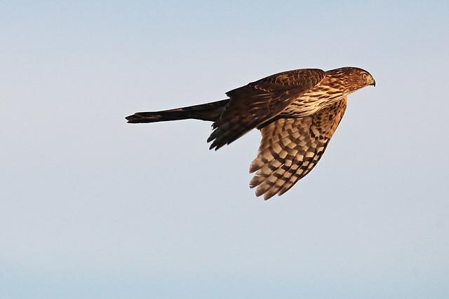 ID'd as Cooper's Hawk,  Santa Cruz, California