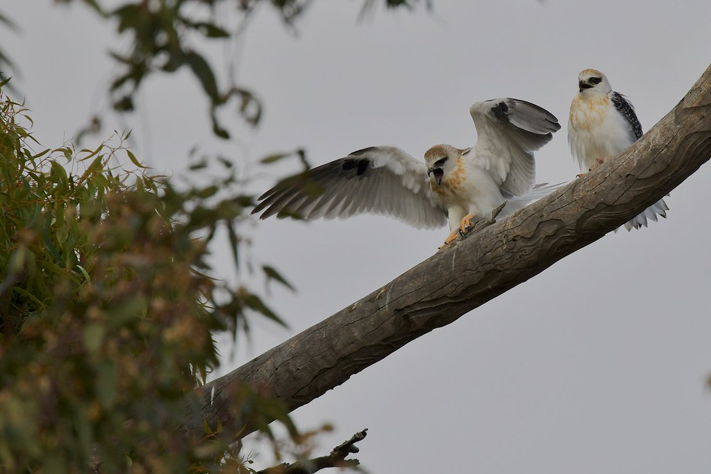 Black -shouldered Kites ( and we are hungry )