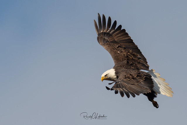 Bald Eagles of New Jersey | 2020 - 7