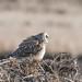 Short-eared Owl -202001190671.jpg