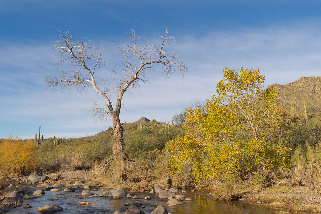 A dead tree stands beside a tree full of fall color beside Cave Creek in Spur Cross Ranch Conservation Area on New Year's Day in January 2020