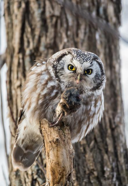 Nyctale de Tengmalm / Boreal owl