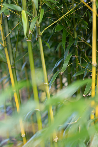 Bamboo, Holme Gardens, January