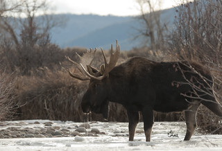 Bull Moose Getting an Ice Cold Drink - 9378Rb+
