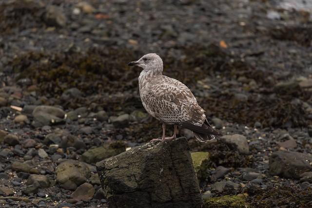 IMG_5560 Seagull, Scotland