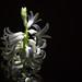 meine Hyazinthe - my hyacinth - η Υάκινθος μου - min hyacint   -1-