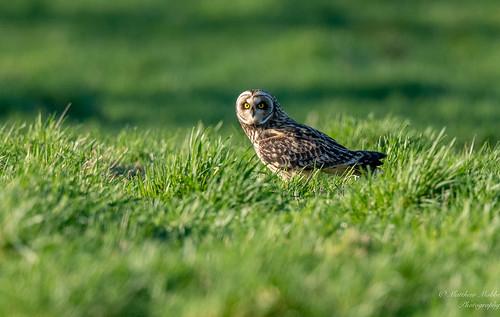 Short=eared Owl