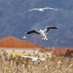 Three gulls forage for terrestrial prey by flying over dry land. Their webbed feet are still wet —dripping droplets of freshwater— after having just taken off from the nearby lake Orestiada in Kastoria, Greece.   There are rooftops and chimneys discerned in the background; they belong to the mountainous village called Polykarpē with an altitude of 640 m above sea level.