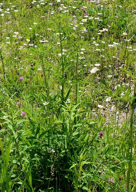 Anemone virginiana viell Virginia-Anemone Tall Anemone, Thimble-Weed,Tumble-Weed