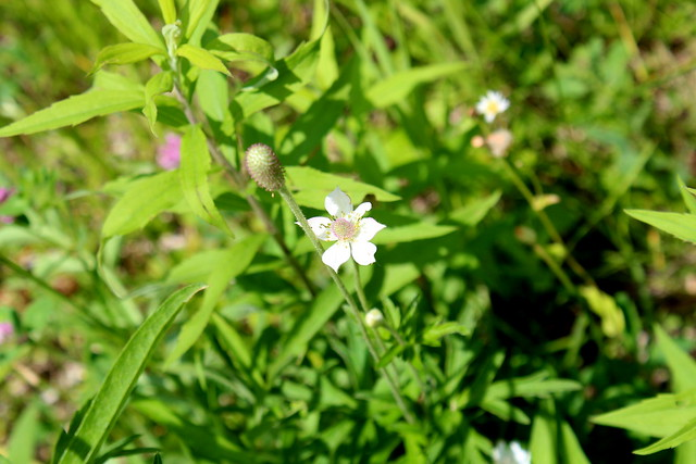 Anemone virginiana Virginia-Anemone Tall Anemone, Thimble-Weed,Tumble-Weed
