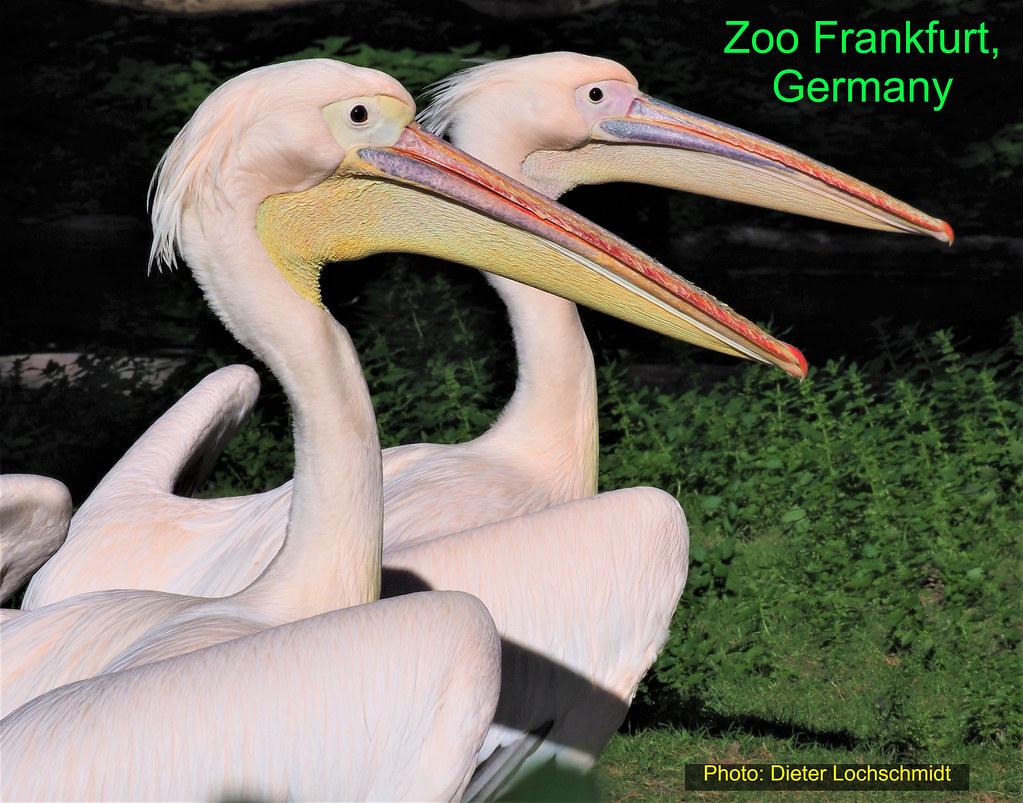Pelicans in Germany - Zoo Frankfurt am Main - 2019
