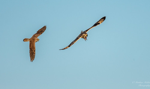 Short-eared Owl being chased by Kestrel