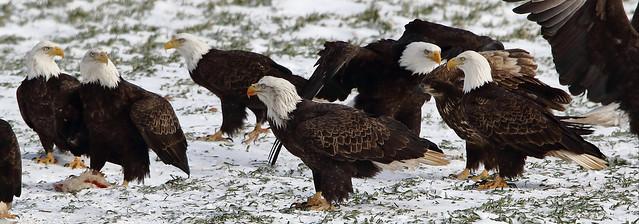 Bald Eagles at Sheffield Mills, Nova Scotia